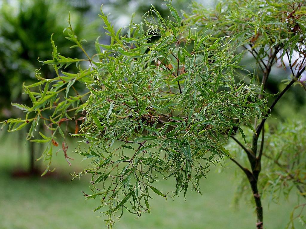 đinh lăng - Công dụng chữa bệnh tuyệt vời của cây đinh lăng - duoclieuvasuckhoe.com
