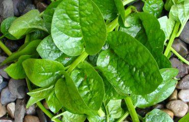 mung toi - Mồng tơi - cây rau chữa bệnh - duoclieuvasuckhoe.com