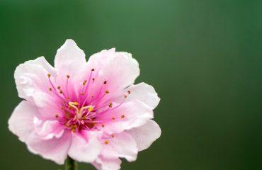 hoa dao 2 - Công dụng của hoa đào - duoclieuvasuckhoe.com
